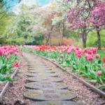tulips, garden path, spring
