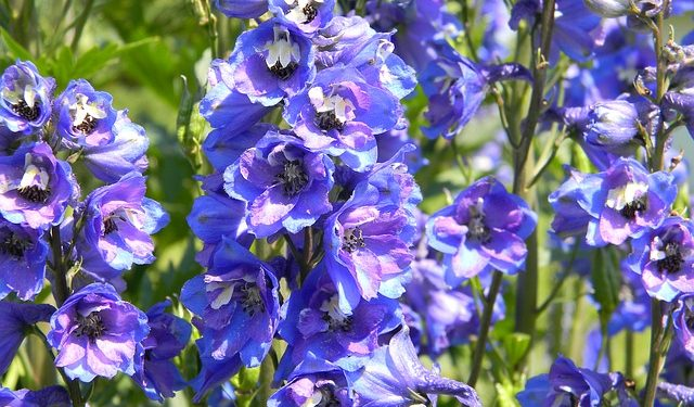 Growing Delphiniums From Seed