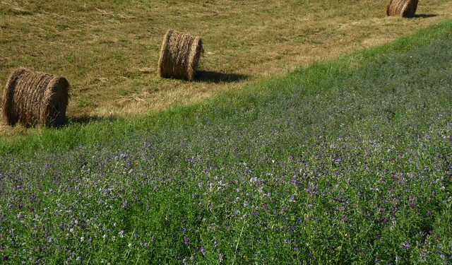 Why Using Alfalfa Is Great For The Garden