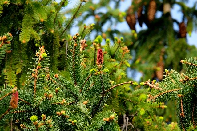Evergreens plants for your garden