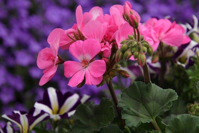 fancy geranium