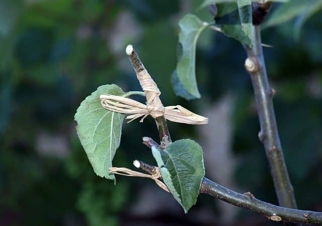 What to know before Grafting of Plants