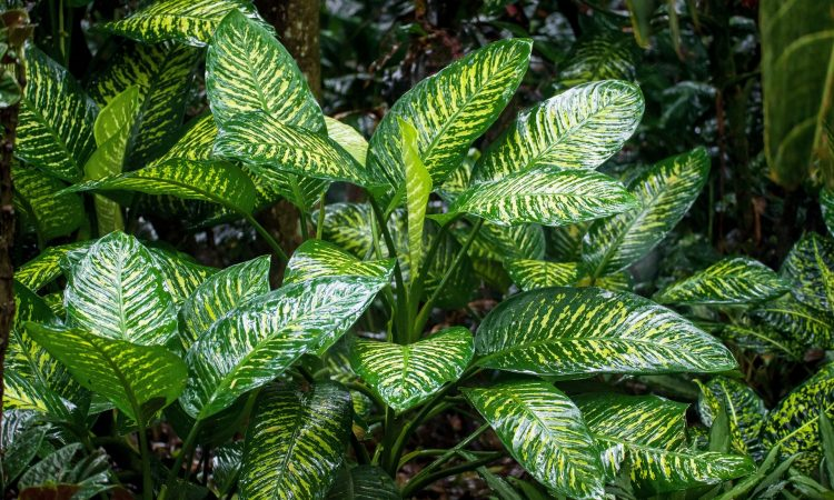 Chinese Evergreen Air-Purifying Indoor Plants and How To Care For Them
