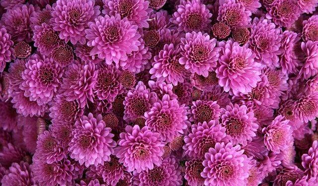chrysanthemum gardening November tasks