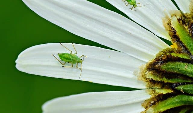 controlling aphids in your garden