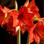 Growing Gorgeous Amaryllis Indoors