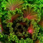 kale with color, growing, organic